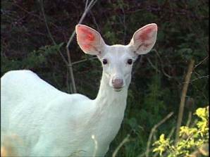 seneca-white-deer